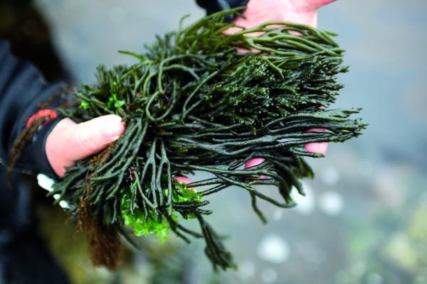 Algen aus Galicien