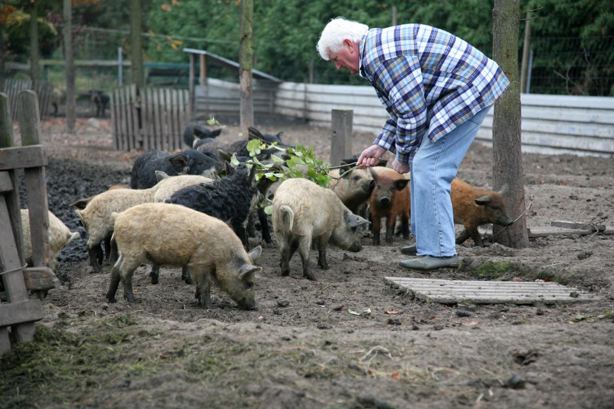 Bauer Beuthe bei den Schweinchen