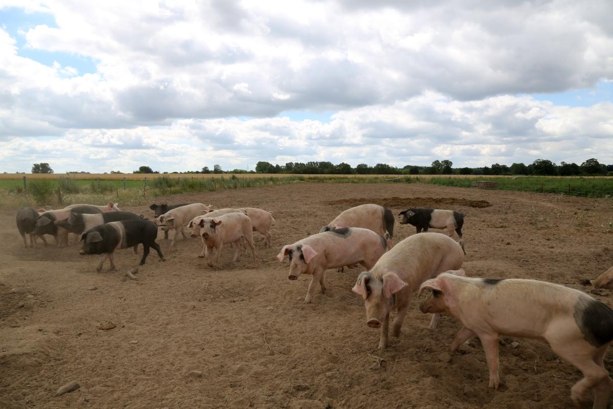 Bauer Rahlf Schweine
