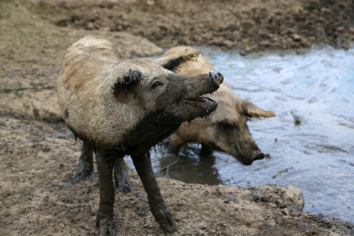glückliche Schweine1