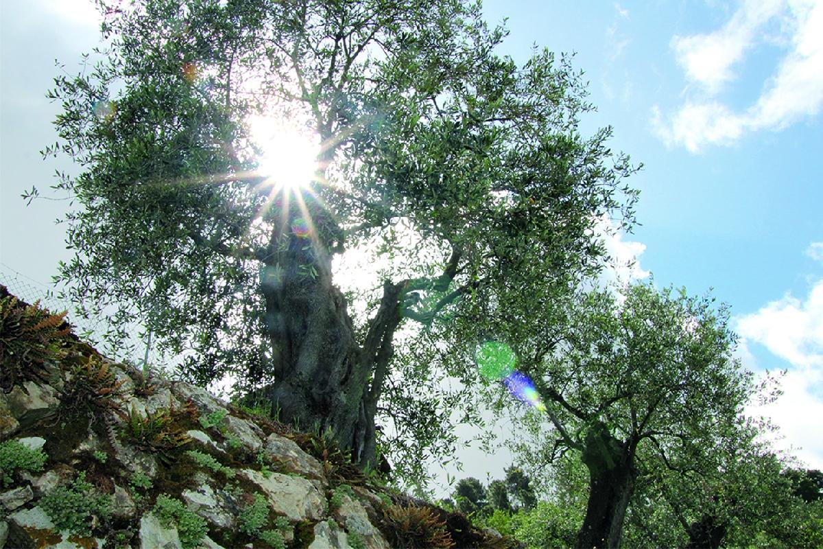 Olivenbaum-mit-Mauer